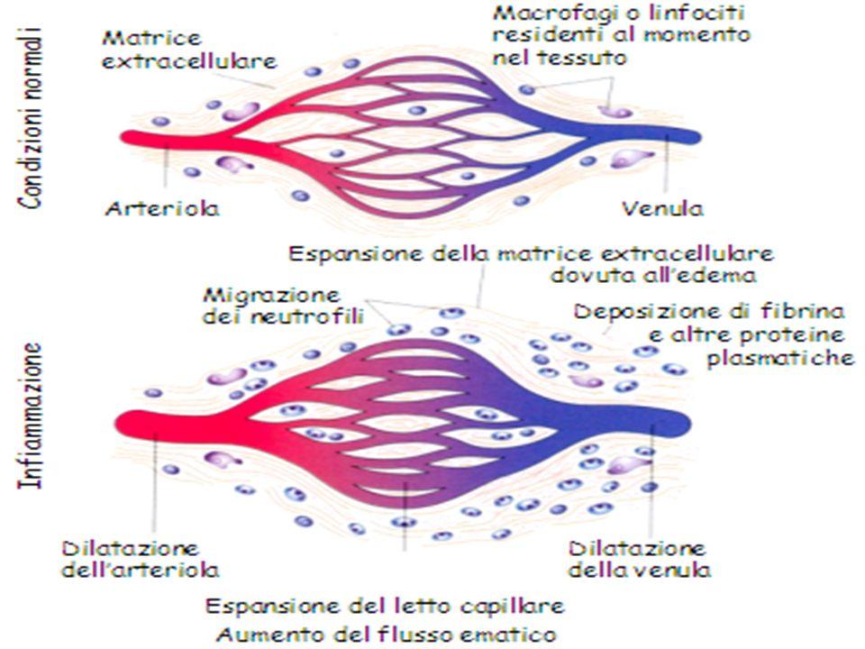 Infiammazione acuta Modificazioni vascolari: Serie di alterazioni volte ad aumentare al massimo la migrazione delle proteine plasmatiche e delle cellule circolanti fuori dalla circolazione nella sede di lesione