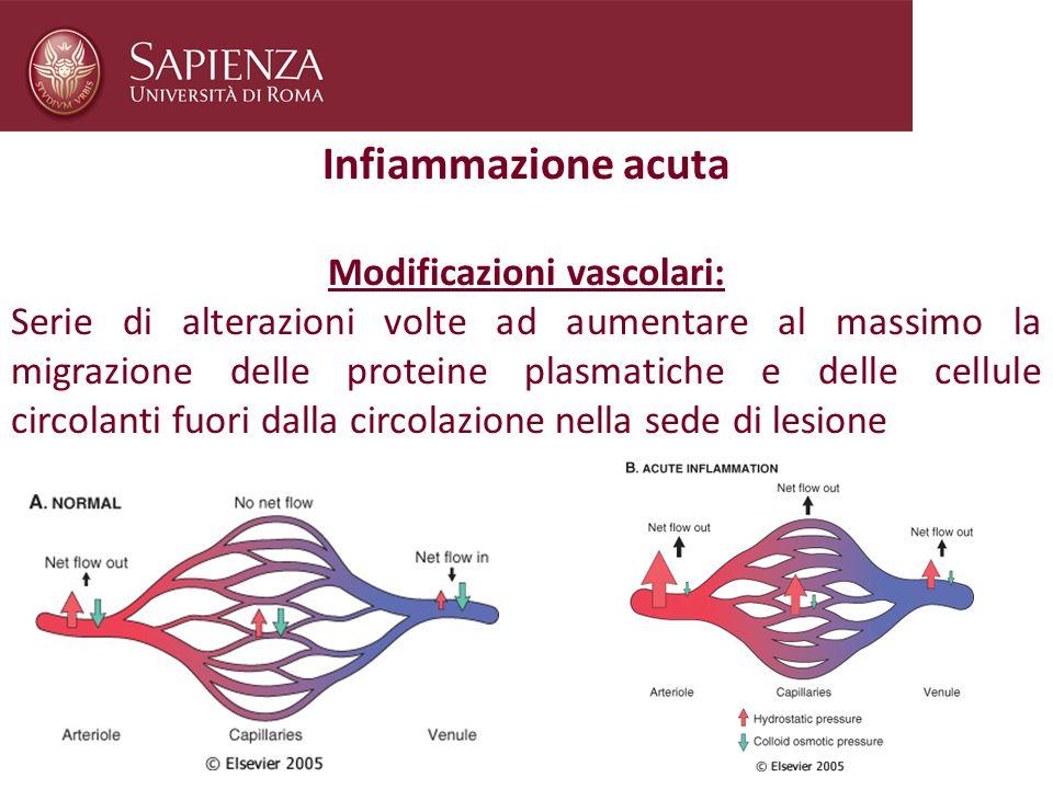 Infiammazione acuta Modificazioni vascolari: Serie di alterazioni volte ad aumentare al massimo la migrazione delle proteine plasmatiche e delle cellu