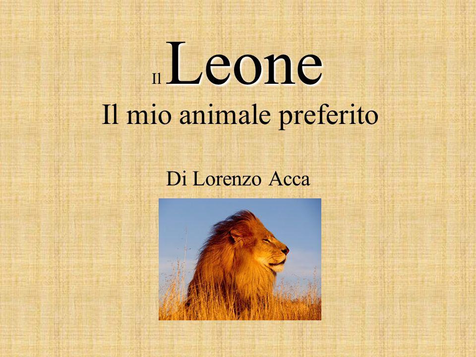 Gli animali selvatici fiutano la presenza del leone per questo tende loro delle imboscate, li avvicina prudentemente, strisciando sotto vento, molte volte seguito da un altro leone.