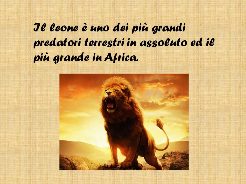 Il mio animale preferito Di Lorenzo Acca Leone Il Leone