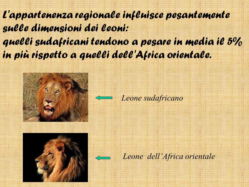 Leone sudafricano Leone dellAfrica orientale