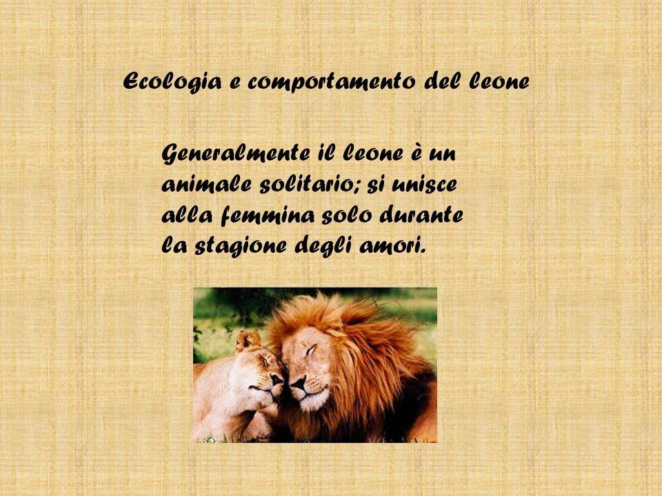 Habitat e distribuzione del leone Anticamente il leone abitava l Europa e in tutta l Africa e l Asia; adesso esiste solo nelle steppe, nelle savane e nelle regioni montuose ricche di erbivori, di cui si nutre.