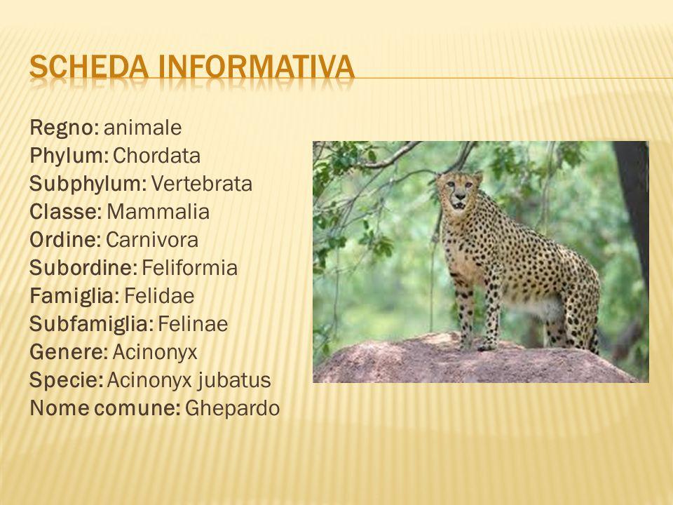 Il ghepardo vive nelle savane e praterie aride e aperte.