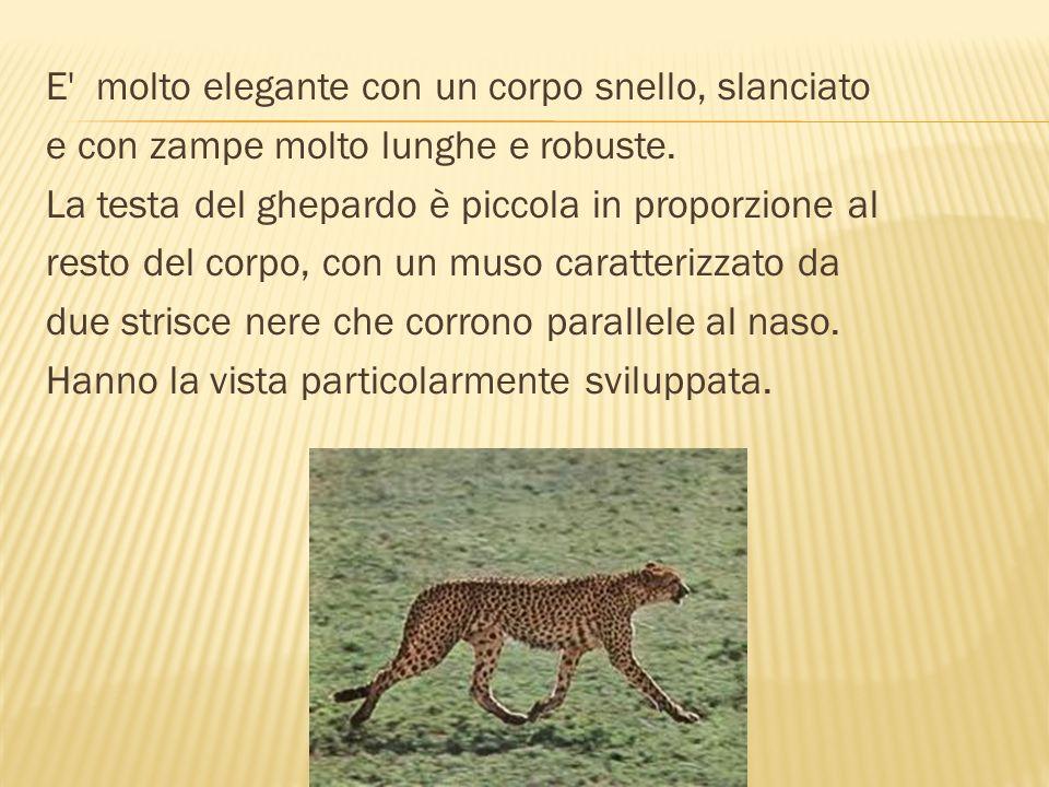 Le femmine di ghepardo sono solitarie e vivono con i loro piccoli.