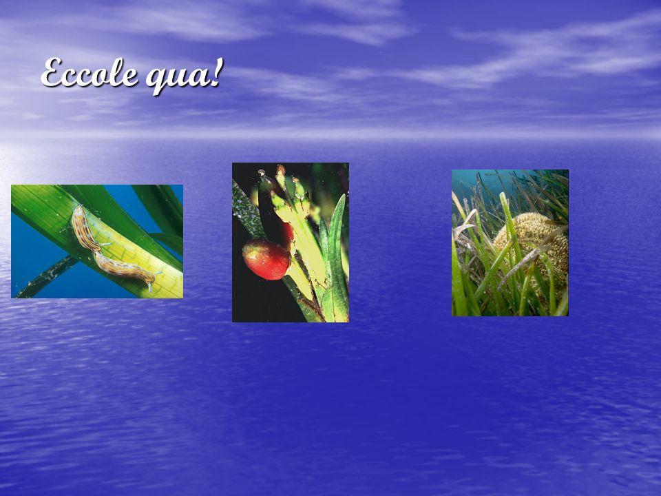 Plancton I piccoli organismi viventi adattati alla sospensione del mare e delle acque dolci, che vengono facilmente trasportati dalle onde e correnti vengono generalmente chiamati col termine plancton (dal greco plancton vagabondo , errante ).