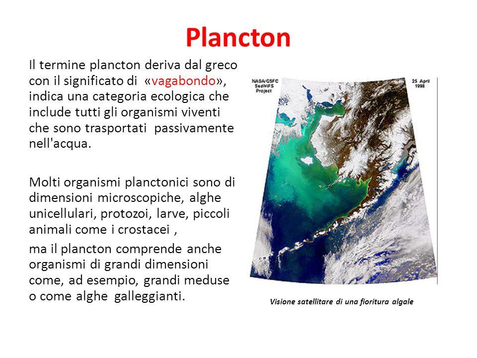 Plancton Il termine plancton deriva dal greco con il significato di «vagabondo», indica una categoria ecologica che include tutti gli organismi vivent