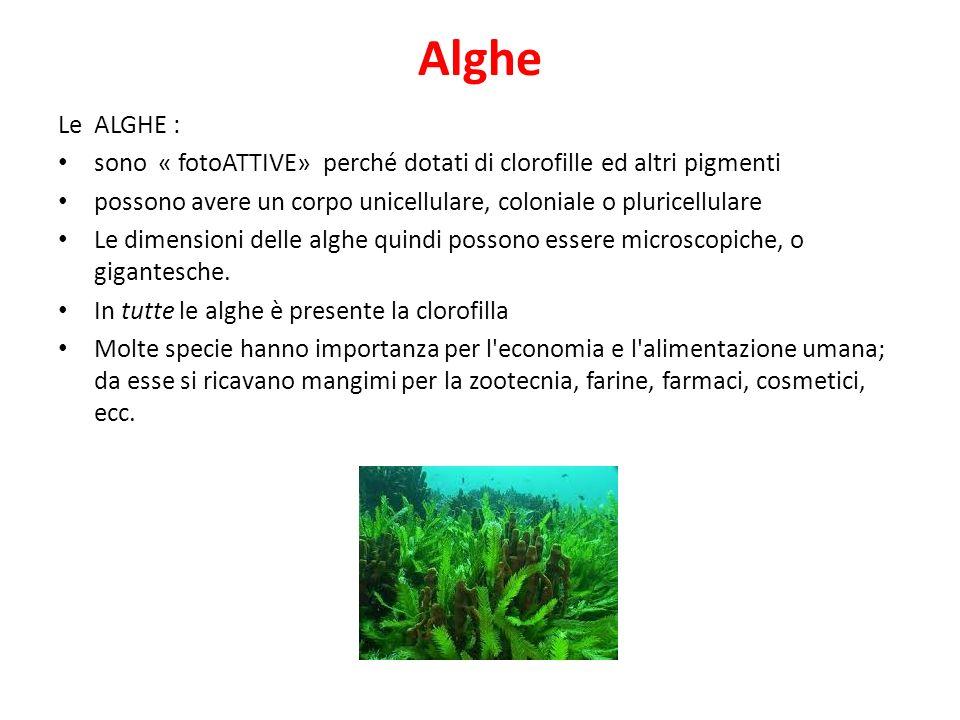 Alghe Le ALGHE : sono « fotoATTIVE» perché dotati di clorofille ed altri pigmenti possono avere un corpo unicellulare, coloniale o pluricellulare Le d