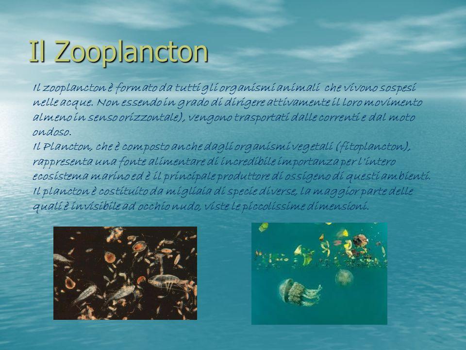 Il Zooplancton Il zooplancton è formato da tutti gli organismi animali che vivono sospesi nelle acque. Non essendo in grado di dirigere attivamente il
