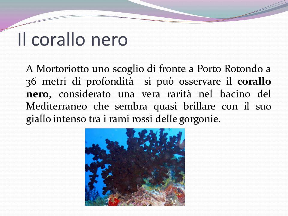 Il corallo nero A Mortoriotto uno scoglio di fronte a Porto Rotondo a 36 metri di profondità si può osservare il corallo nero, considerato una vera ra