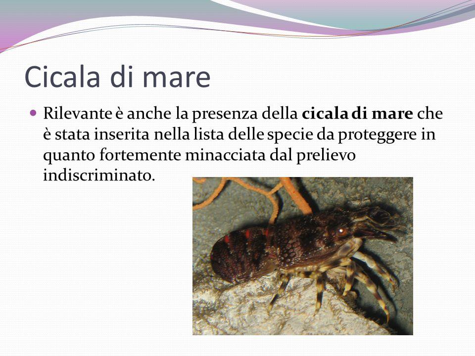 Cicala di mare Rilevante è anche la presenza della cicala di mare che è stata inserita nella lista delle specie da proteggere in quanto fortemente min