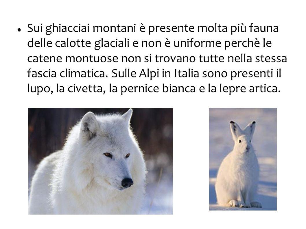 Sui ghiacciai montani è presente molta più fauna delle calotte glaciali e non è uniforme perchè le catene montuose non si trovano tutte nella stessa f