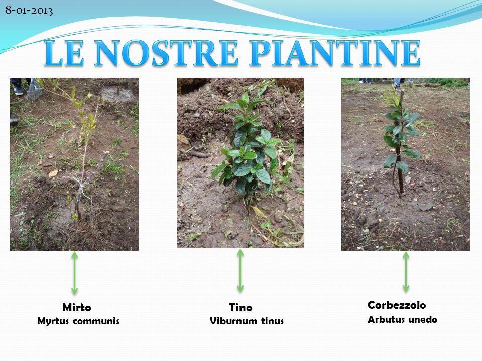 Mirto Myrtus communis Tino Viburnum tinus Corbezzolo Arbutus unedo 8-01-2013