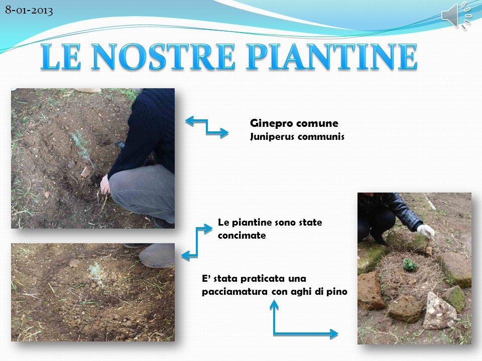 Ginepro comune Juniperus communis Le piantine sono state concimate E stata praticata una pacciamatura con aghi di pino 8-01-2013