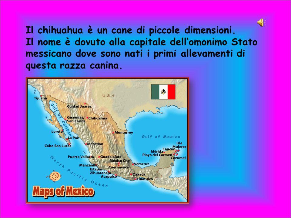 Il chihuahua è un cane di piccole dimensioni. Il nome è dovuto alla capitale dellomonimo Stato messicano dove sono nati i primi allevamenti di questa