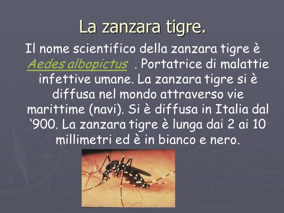 La zanzara tigre. Il nome scientifico della zanzara tigre è Aedes albopictus. Portatrice di malattie infettive umane. La zanzara tigre si è diffusa ne