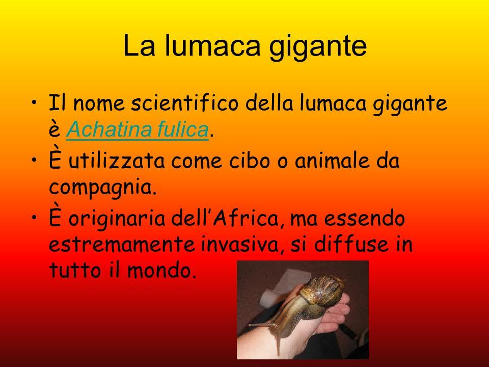 La lumaca gigante Il nome scientifico della lumaca gigante è Achatina fulica.Achatina fulica È utilizzata come cibo o animale da compagnia. È originar