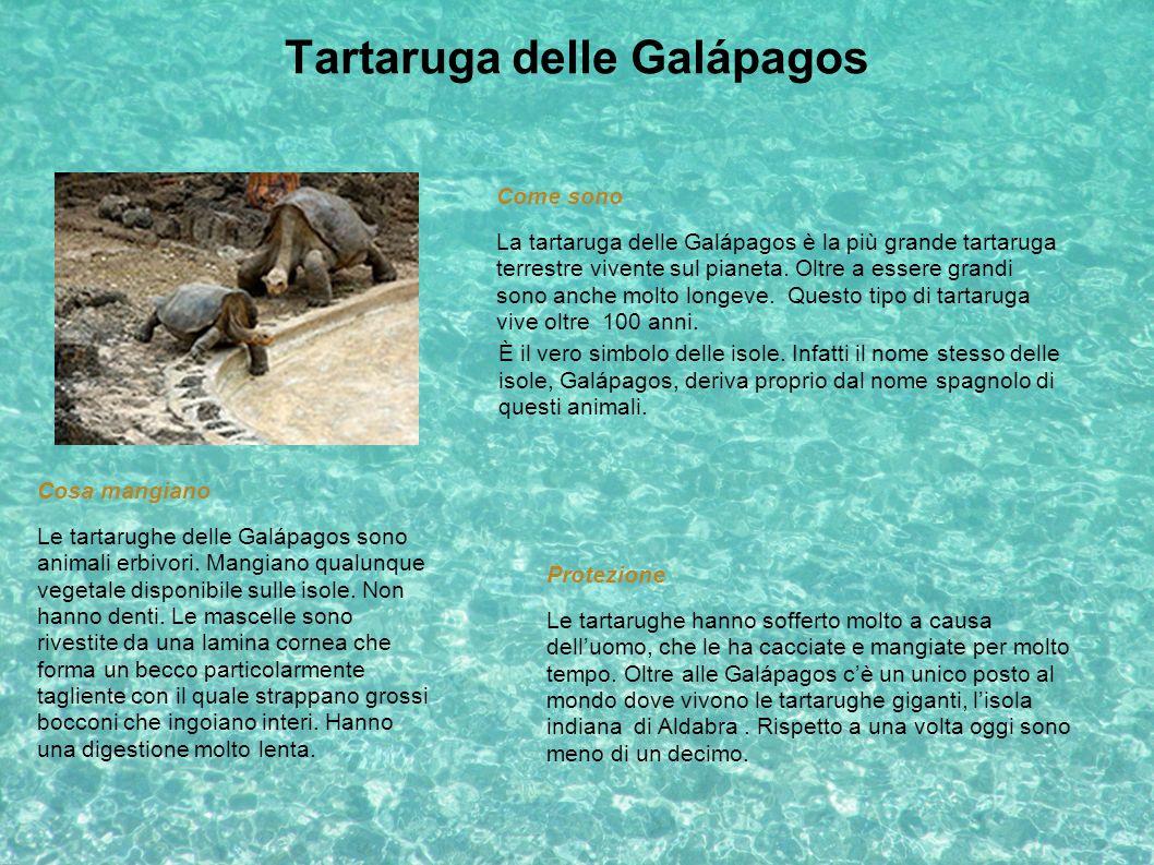 Tartaruga delle Galápagos È il vero simbolo delle isole. Infatti il nome stesso delle isole, Galápagos, deriva proprio dal nome spagnolo di questi ani