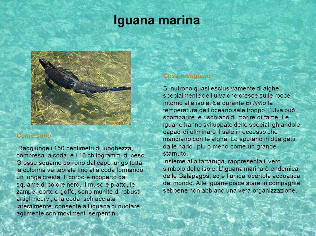 Iguana marina Insieme alla tartaruga, rappresenta il vero simbolo delle isole. Liguana marina è endemica delle Galápagos, ed è lunica lucertola acquat