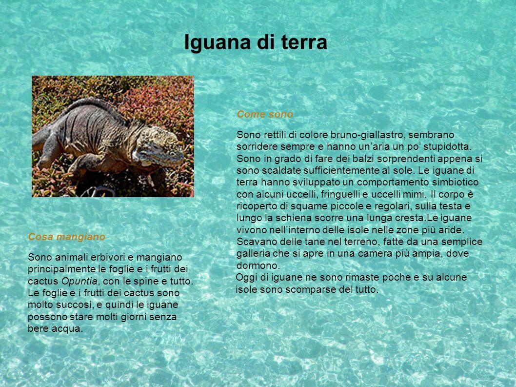 Iguana di terra Oggi di iguane ne sono rimaste poche e su alcune isole sono scomparse del tutto. Come sono Sono rettili di colore bruno-giallastro, se
