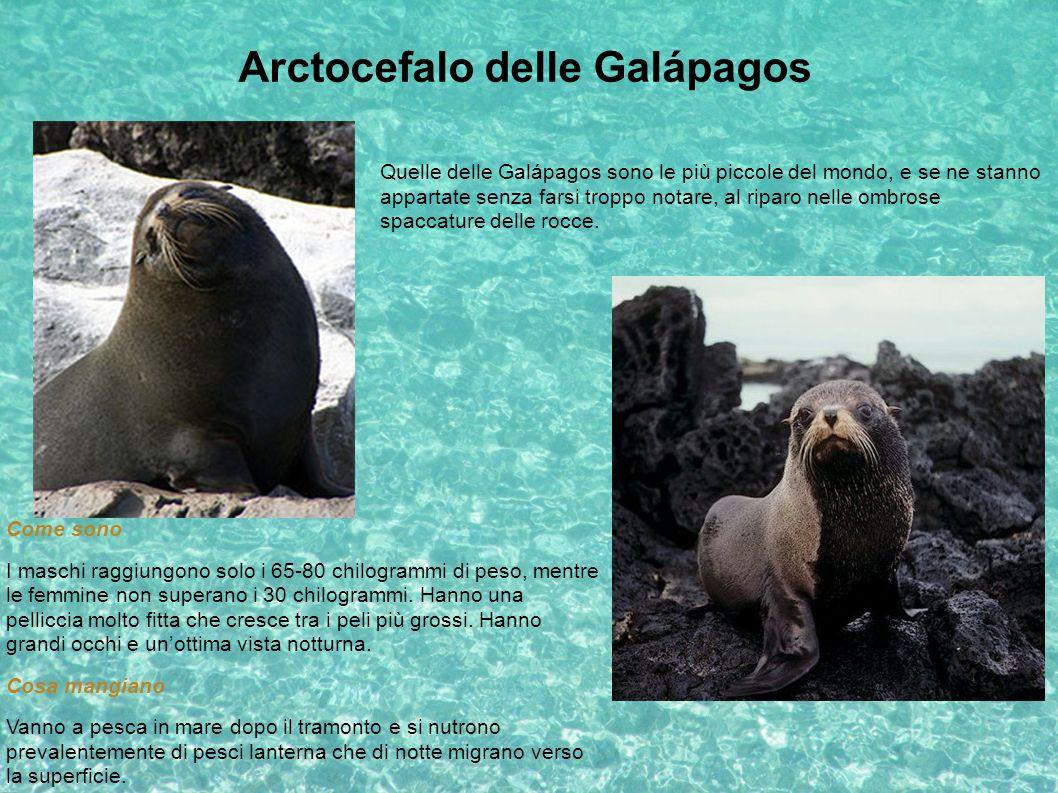 Arctocefalo delle Galápagos Quelle delle Galápagos sono le più piccole del mondo, e se ne stanno appartate senza farsi troppo notare, al riparo nelle