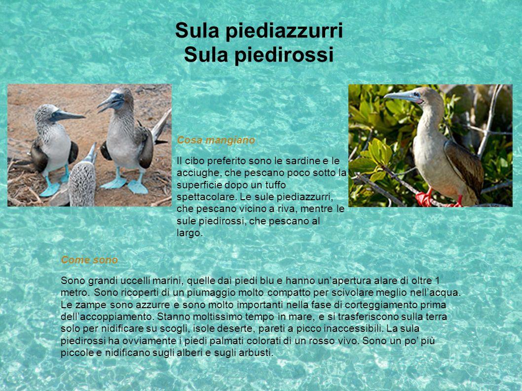 Sula piediazzurri Sula piedirossi Come sono Sono grandi uccelli marini, quelle dai piedi blu e hanno unapertura alare di oltre 1 metro. Sono ricoperti