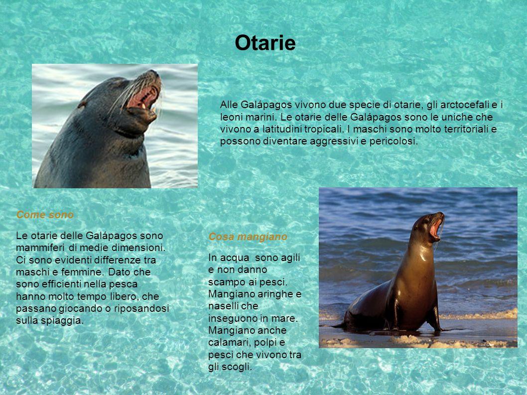 Otarie Alle Galápagos vivono due specie di otarie, gli arctocefali e i leoni marini. Le otarie delle Galápagos sono le uniche che vivono a latitudini