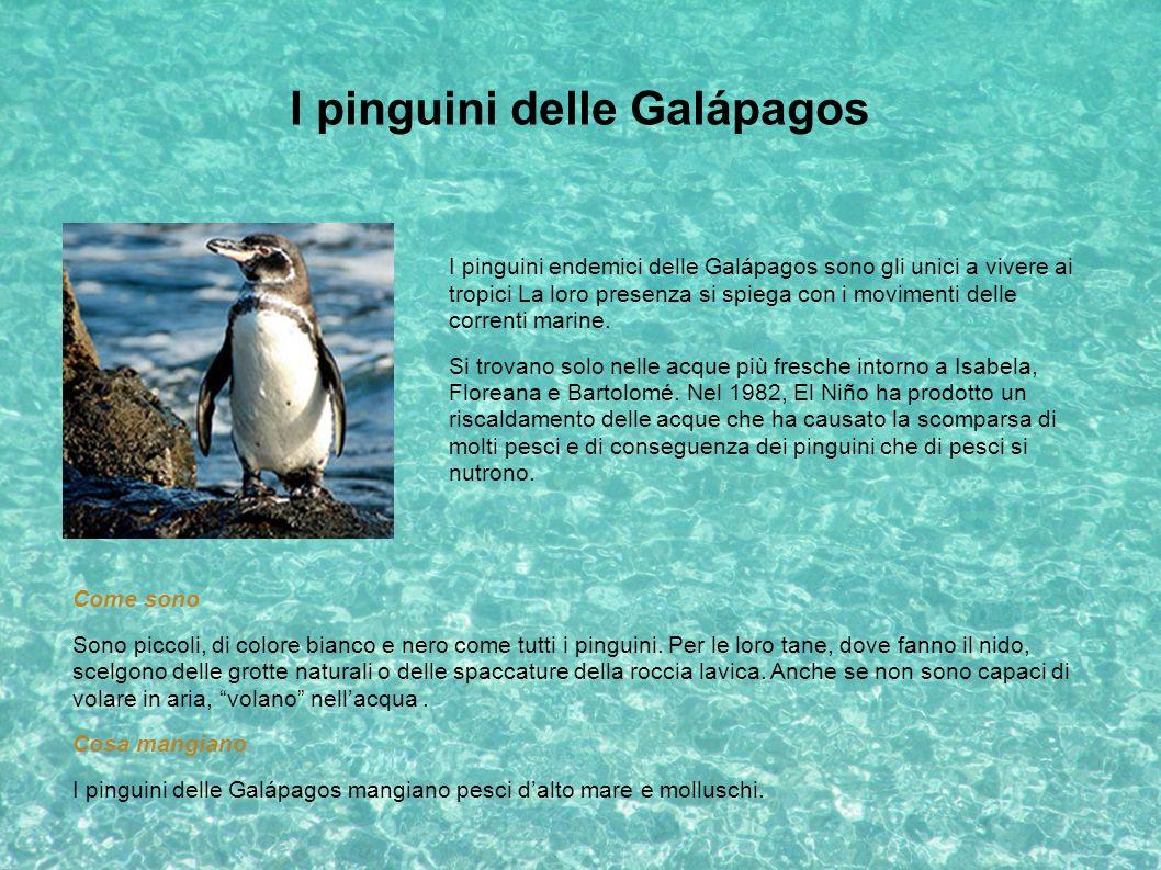 I pinguini delle Galápagos I pinguini endemici delle Galápagos sono gli unici a vivere ai tropici La loro presenza si spiega con i movimenti delle cor