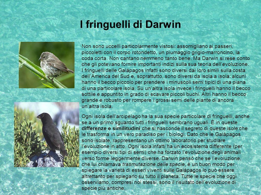 I fringuelli di Darwin Non sono uccelli particolarmente vistosi: assomigliano ai passeri, piccoletti con il corpo rotondetto, un piumaggio grigio-marr