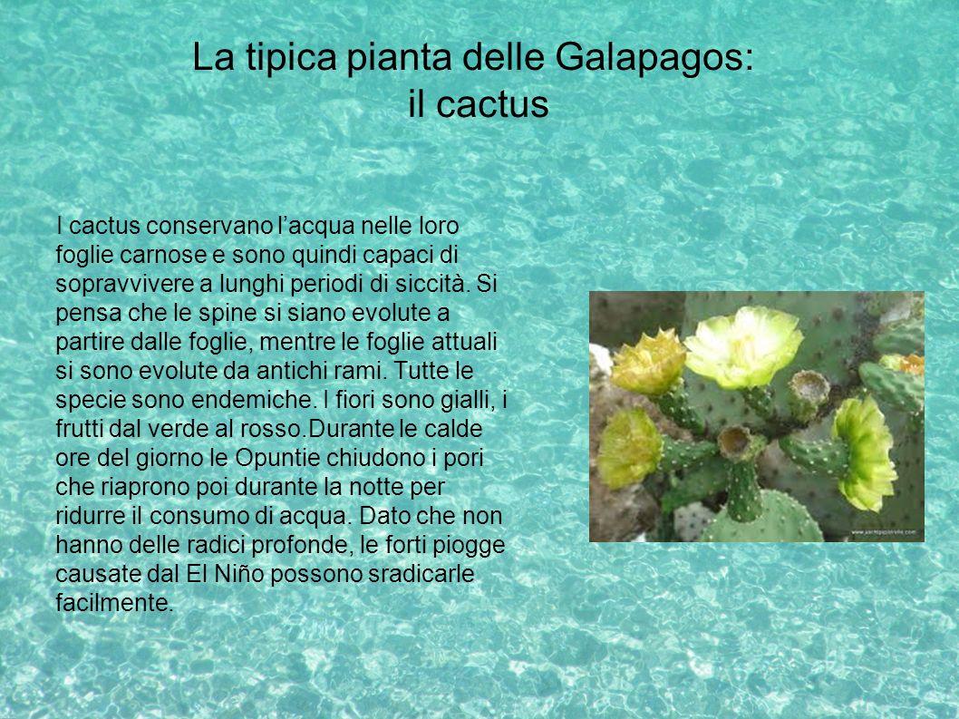 La tipica pianta delle Galapagos: il cactus I cactus conservano lacqua nelle loro foglie carnose e sono quindi capaci di sopravvivere a lunghi periodi