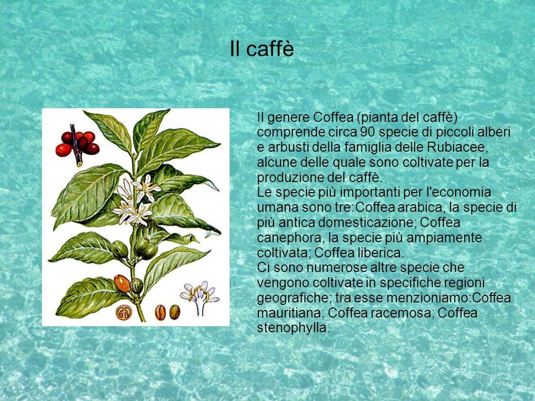 Il caffè Il genere Coffea (pianta del caffè) comprende circa 90 specie di piccoli alberi e arbusti della famiglia delle Rubiacee, alcune delle quale s