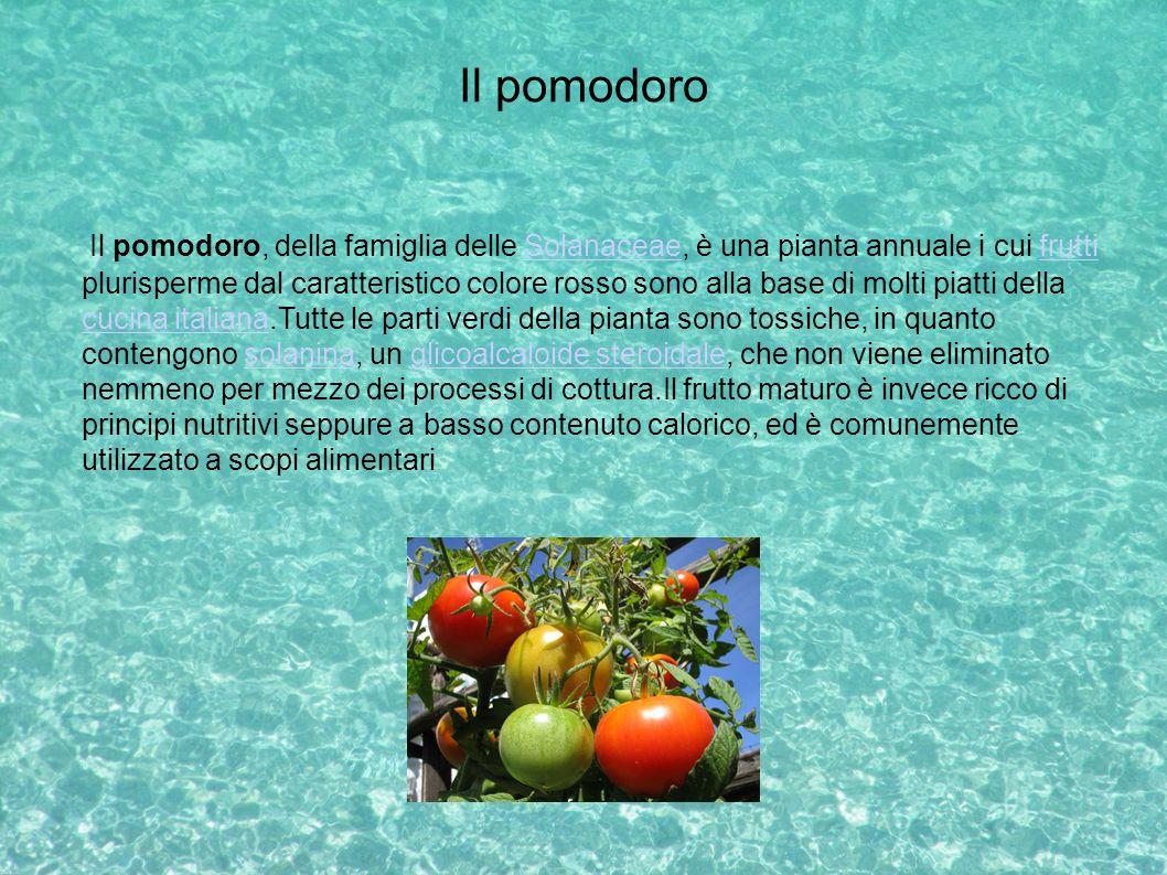 Il pomodoro Il pomodoro, della famiglia delle Solanaceae, è una pianta annuale i cui frutti plurisperme dal caratteristico colore rosso sono alla base