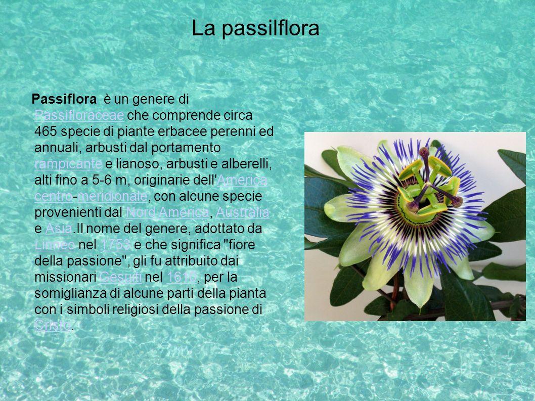 La passilflora Passiflora è un genere di Passifloraceae che comprende circa 465 specie di piante erbacee perenni ed annuali, arbusti dal portamento ra