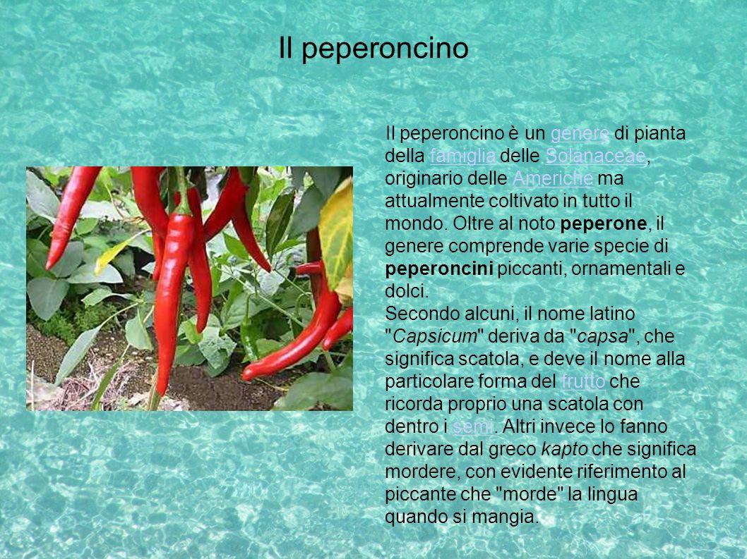 Il peperoncino Il peperoncino è un genere di pianta della famiglia delle Solanaceae, originario delle Americhe ma attualmente coltivato in tutto il mo