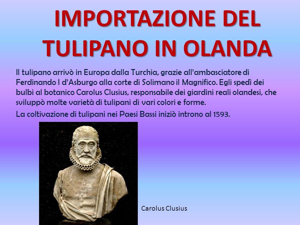 IMPORTAZIONE DEL TULIPANO IN OLANDA Il tulipano arrivò in Europa dalla Turchia, grazie allambasciatore di Ferdinando I dAsburgo alla corte di Solimano il Magnifico.