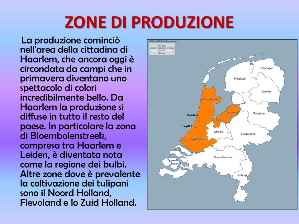ZONE DI PRODUZIONE La produzione cominciò nell area della cittadina di Haarlem, che ancora oggi è circondata da campi che in primavera diventano uno spettacolo di colori incredibilmente bello.