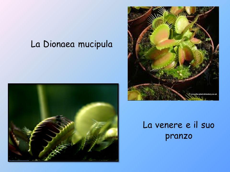DROSERA Darwin decise di analizzare unaltra pianta carnivora: la Drosera.