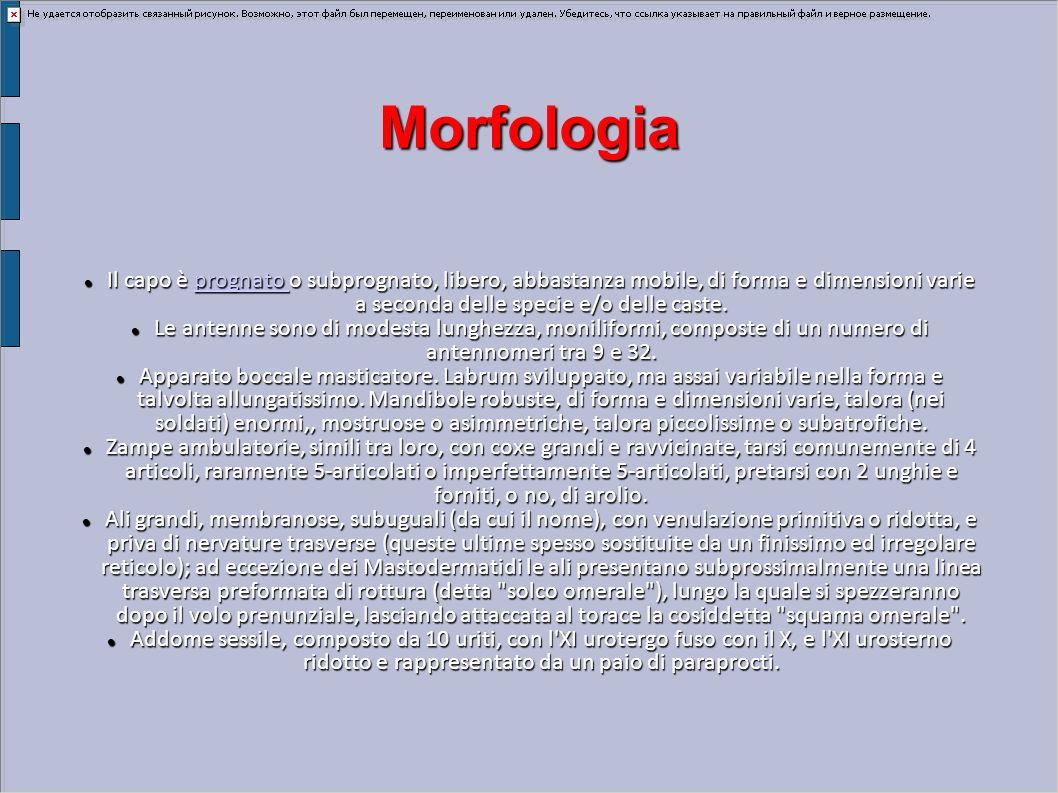 Morfologia Il capo è prognato o subprognato, libero, abbastanza mobile, di forma e dimensioni varie a seconda delle specie e/o delle caste. Il capo è
