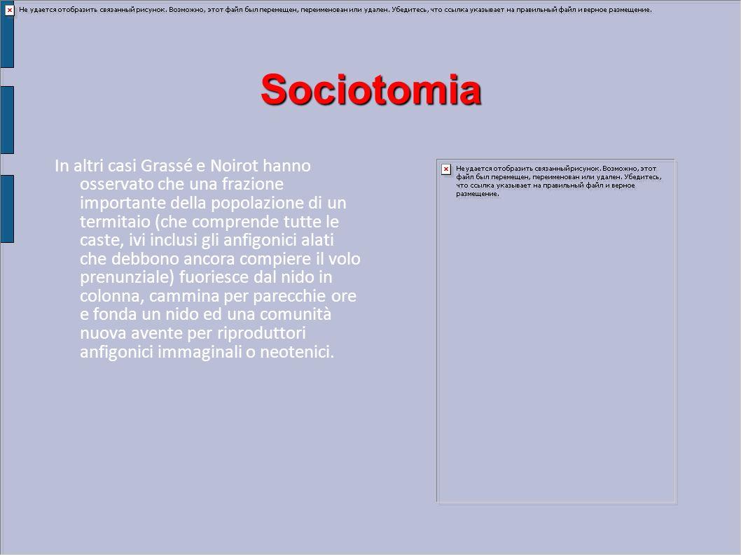 Sociotomia In altri casi Grassé e Noirot hanno osservato che una frazione importante della popolazione di un termitaio (che comprende tutte le caste,