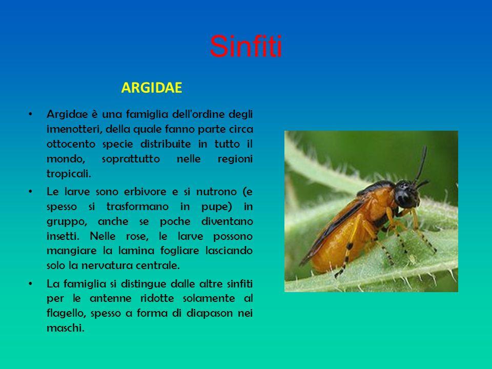 Sinfiti ARGIDAE Argidae è una famiglia dell'ordine degli imenotteri, della quale fanno parte circa ottocento specie distribuite in tutto il mondo, sop