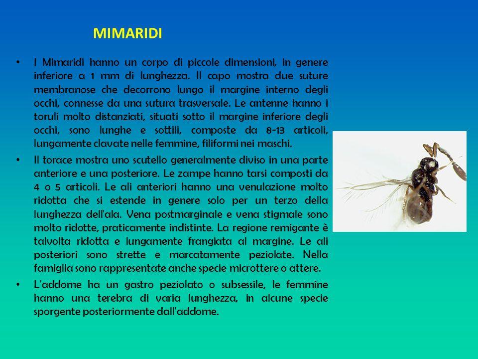 MIMARIDI I Mimaridi hanno un corpo di piccole dimensioni, in genere inferiore a 1 mm di lunghezza. Il capo mostra due suture membranose che decorrono