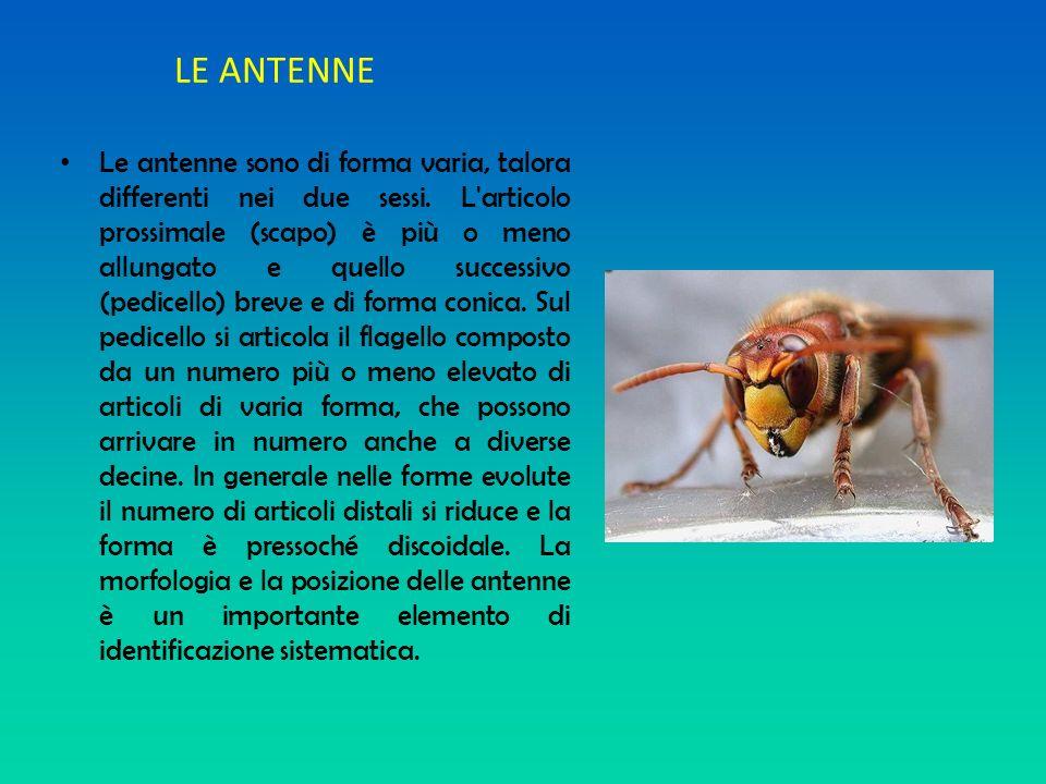 LE ANTENNE Le antenne sono di forma varia, talora differenti nei due sessi. L'articolo prossimale (scapo) è più o meno allungato e quello successivo (
