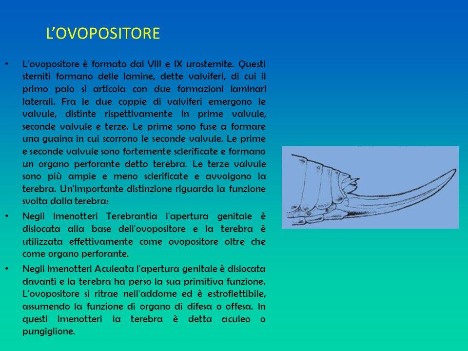 LOVOPOSITORE L'ovopositore è formato dal VIII e IX urosternite. Questi sterniti formano delle lamine, dette valviferi, di cui il primo paio si articol