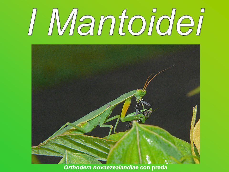 I Mantoidei (Mantodea) sono un ordine di insetti pterigoti (sottoclasse che comprende tutti gli insetti provvisti di ali).