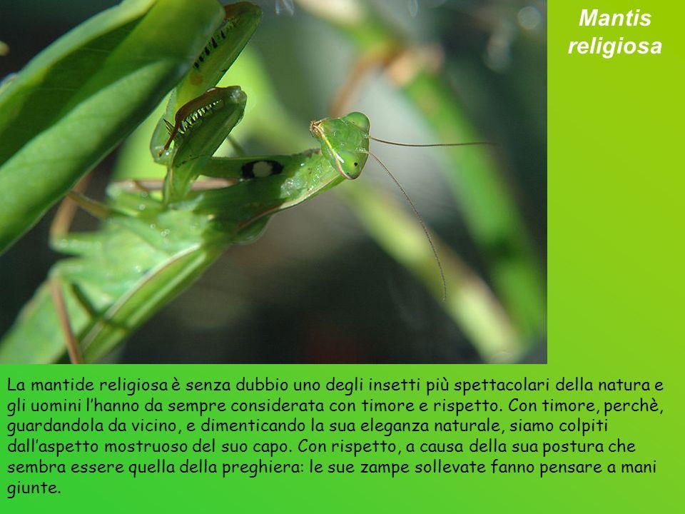 La mantide religiosa è senza dubbio uno degli insetti più spettacolari della natura e gli uomini lhanno da sempre considerata con timore e rispetto.