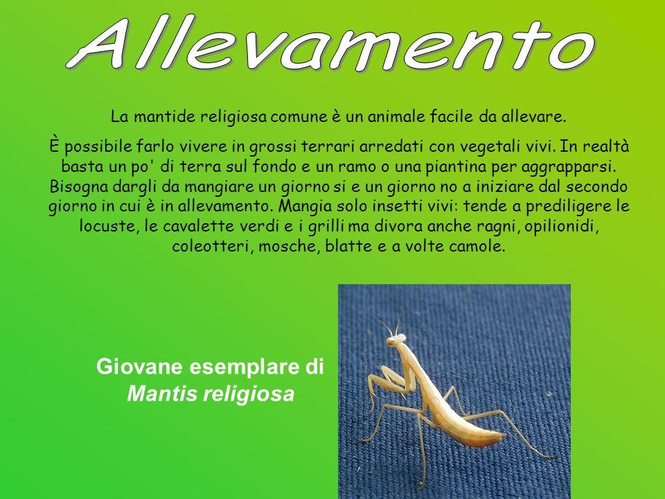 La mantide religiosa comune è un animale facile da allevare.