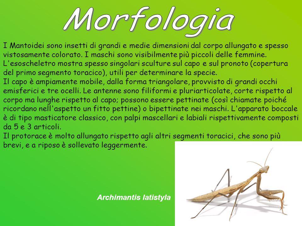 I Mantoidei sono insetti di grandi e medie dimensioni dal corpo allungato e spesso vistosamente colorato.