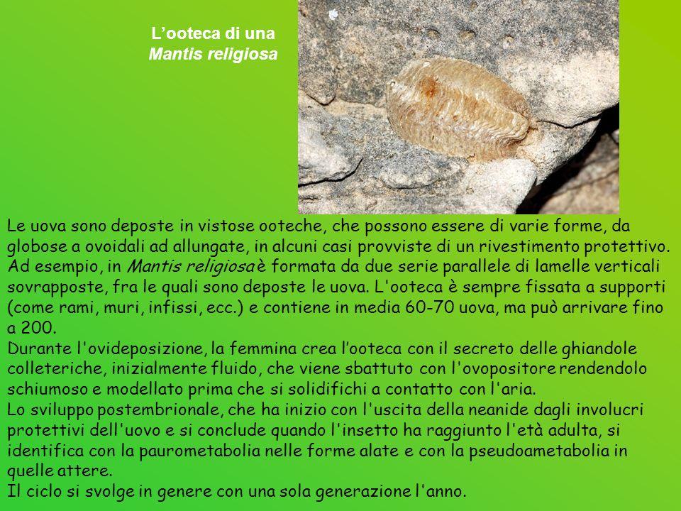 Delle 24 specie presenti in Europa, solo 12 sono presenti in Italia.