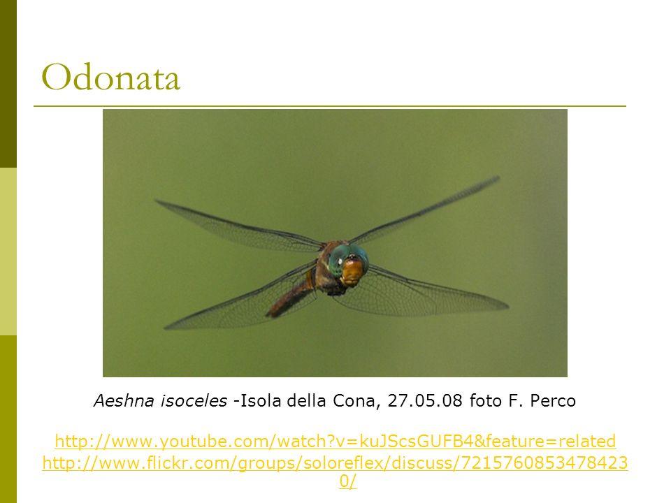 Odonata Aeshna isoceles -Isola della Cona, 27.05.08 foto F.