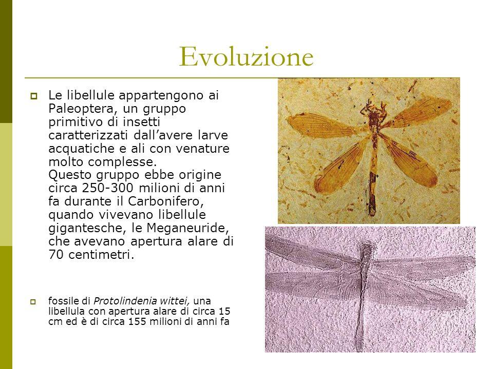 Evoluzione Le libellule appartengono ai Paleoptera, un gruppo primitivo di insetti caratterizzati dallavere larve acquatiche e ali con venature molto complesse.