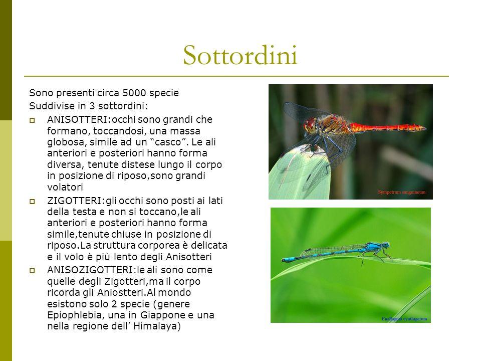 Predatori Vulnerabili soprattutto nella fase dopo la metamorfosi,diventano prede di molti uccelli, di formiche e di ragni.
